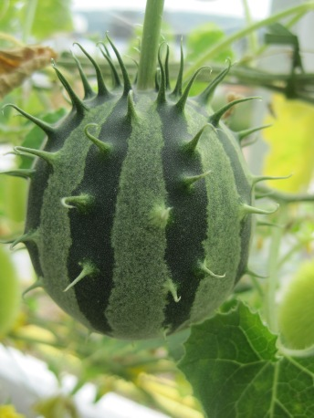 prickly cucumber