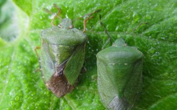 Southern Shield Bug