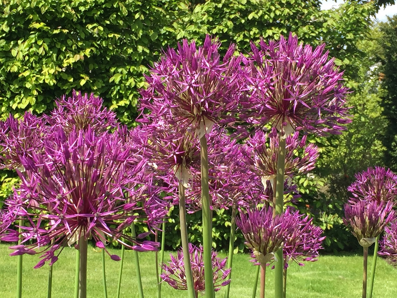 IMG_2066 Allium