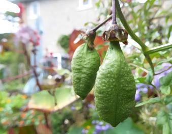 Anna exxremocarpus seeds