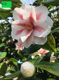 PS Camellia