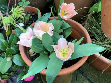 Vijas suprising tulips