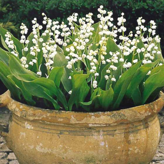 Lily of the valley pot