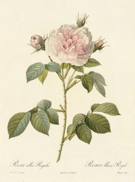Malmaison rose