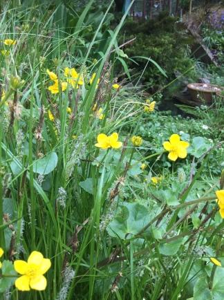Pond marsh marigold