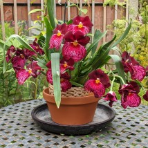 11 ME Orchid miltonia