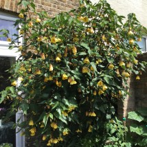 6 VW Abutilon Waltz