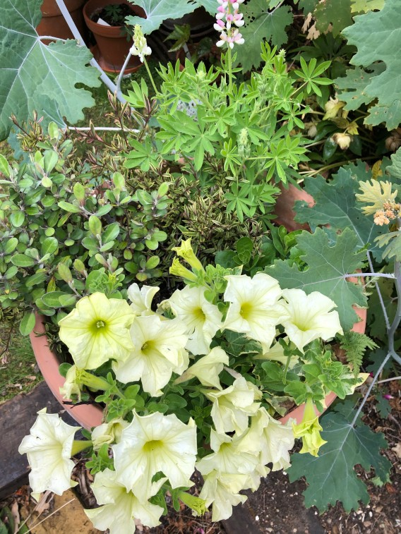 VVPetunia Lime Green