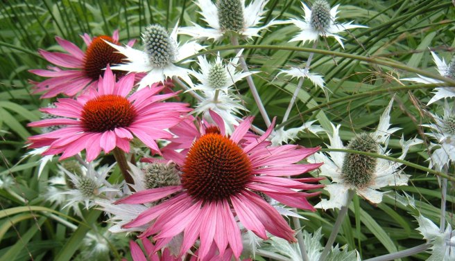 This image has an empty alt attribute; its file name is echinacae-eryngium1.jpg
